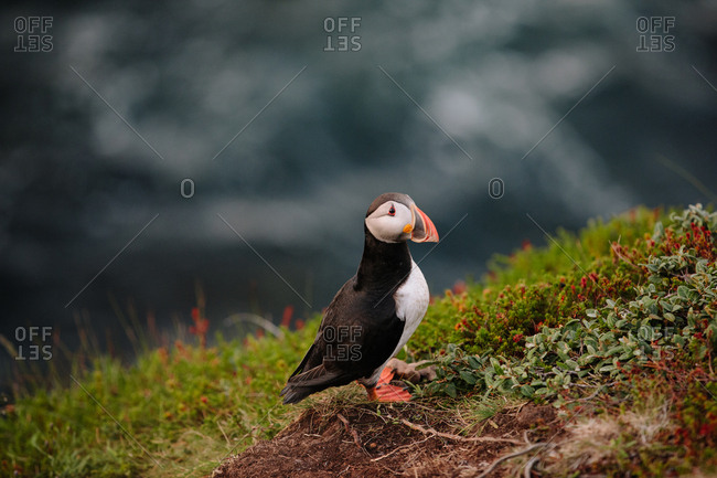 Atlantic puffin standing alone on rocky cliff