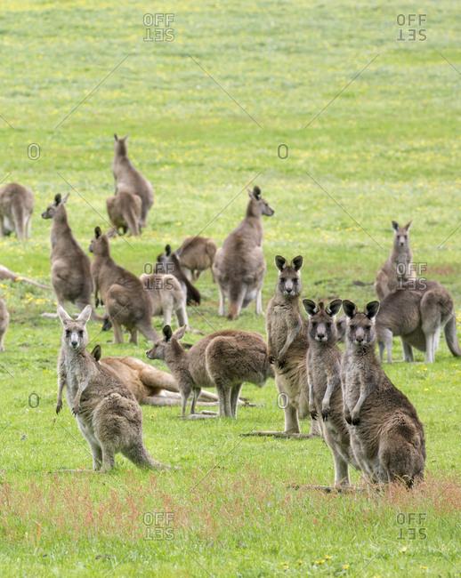 Field full of kangaroos at Geelong farmlands, Australia