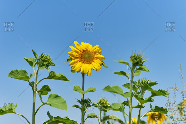 Field of sunflowers on an eco farm