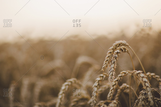 Close-up of wheat growing at farm against sky