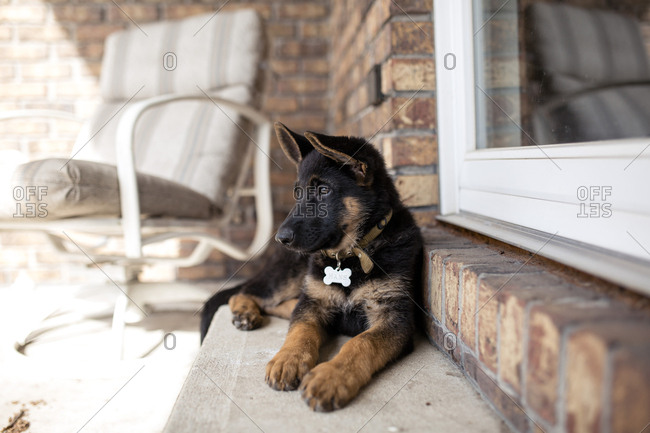 German Shepherd looking away while lying on steps by house