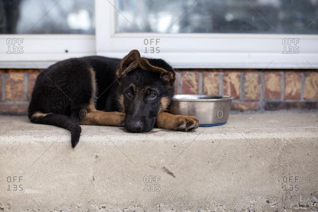 Portrait of German Shepherd lying on steps