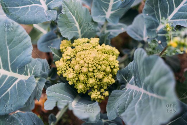 Romanesco broccoli (or cauliflower) plant growing in a organic farm