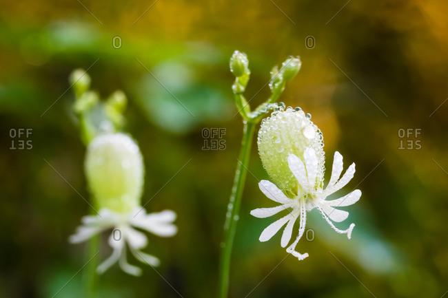 Wildflower with Dew in Meadow Garden