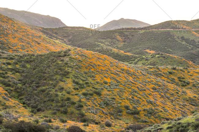 Wildflower bloom in Walker Canyon.