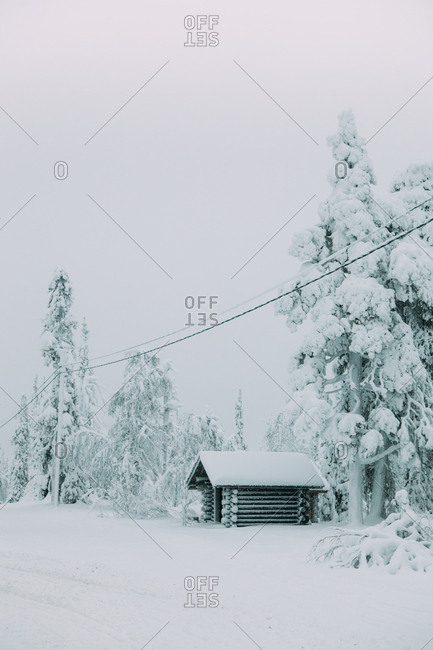 Conifer trees covered with white snow growing in cold lapland countryside