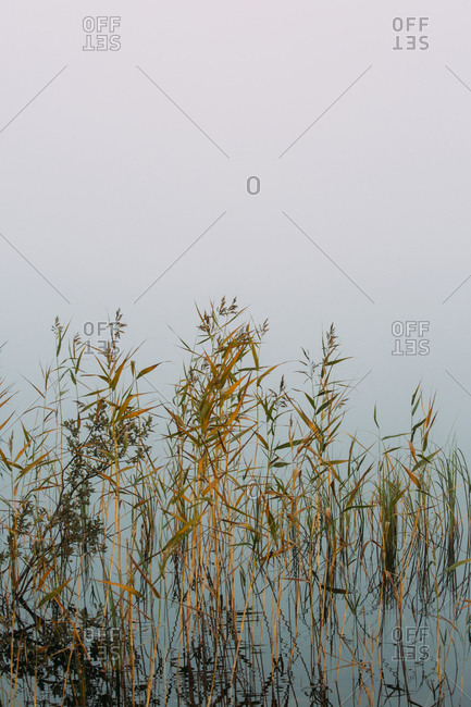 Yellow and green dried plants growing in swamp water on foggy day in finland