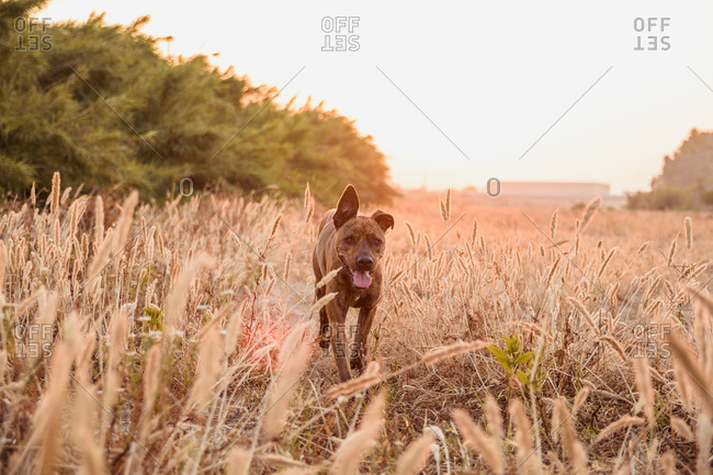 Big dog with short and smooth coat running free on wild meadow with tall grass during beautiful red and orange sunset