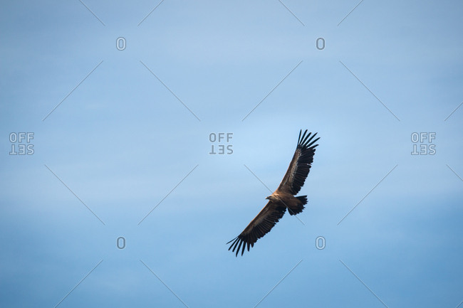 Wild hawk with big wings hovering in clear blue sky