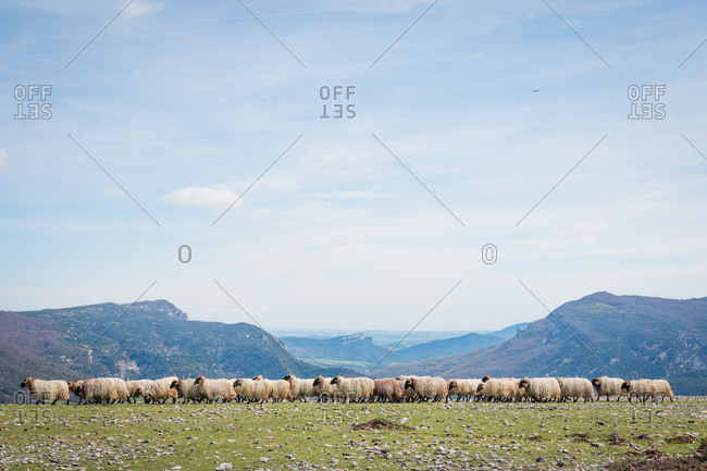 Flock of mountain fluffy sheep grazing and eating grass in green meadow