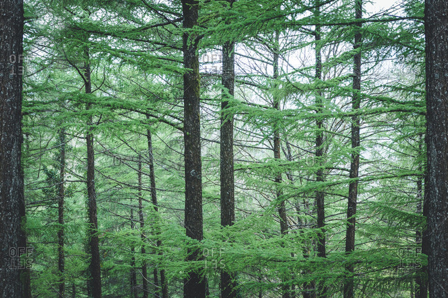 Young green coniferous trees in park on background of cloudy sky
