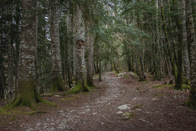 Narrow stony path going through conifer forest with mossy trees