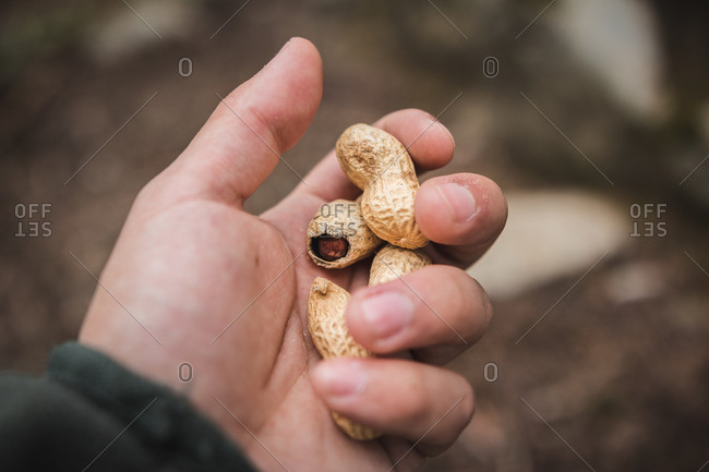 From above hand of anonymous man holding few unshelled peanuts on blurred background of forest ground