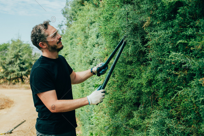 Caucasian man trimming an arizonica hedge with big scissor for garden