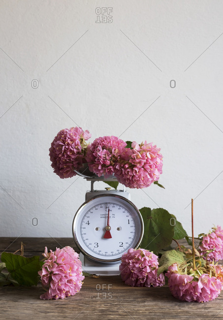 Bunch of beautiful pink flowers placed on weighing balance and wooden table against white wall