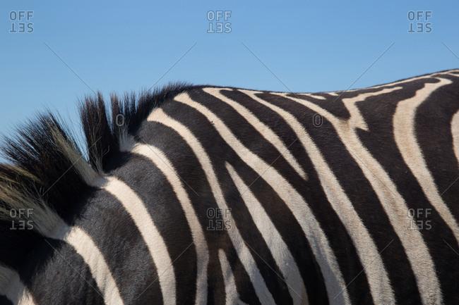 Close up of a zebra's back