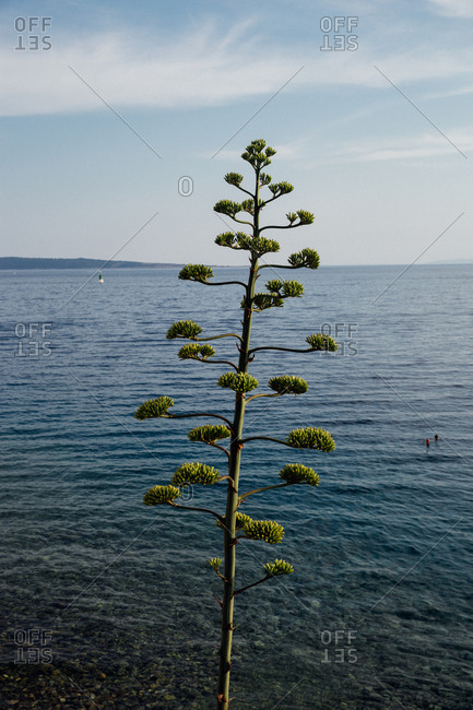 Agave plant on the coast of the Adriatic Sea in Croatia