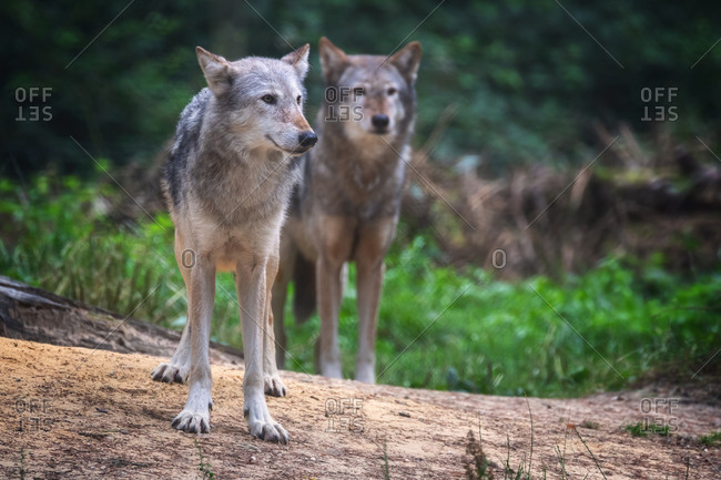 A pair of Mackenzie Valley wolves, Canis lupus occidentalis, a subspecies of the Grey Wolf and the largest wolves in the world.