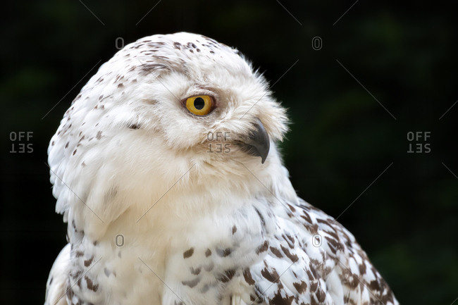 Female snowy owl, Bubo scandiacus, close-up side profile against dark foliage background.