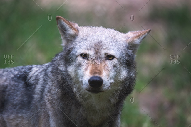 A Mackenzie Valley wolf, Canis lupus occidentalis, close up. This is a subspecies of the Grey Wolf and the largest wolf species in the world.