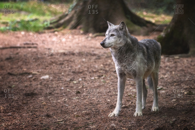 A Mackenzie Valley wolf, Canis lupus occidentalis, in a forest clearing. This is a subspecies of the Grey Wolf and the largest wolf species in the world.