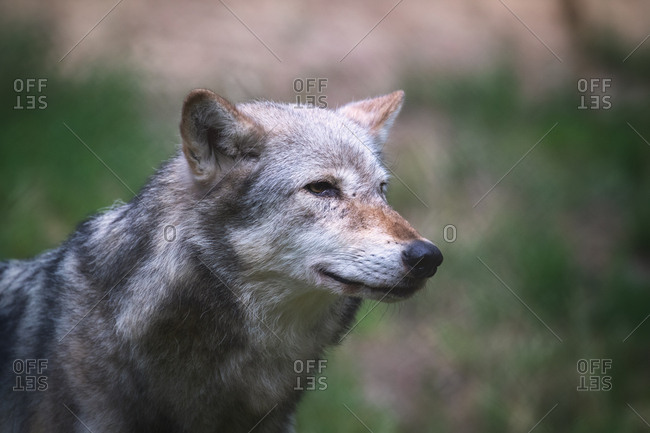 A Mackenzie Valley wolf, Canis lupus occidentalis, side profile close up. This is a subspecies of the Grey Wolf and the largest wolf species in the world.