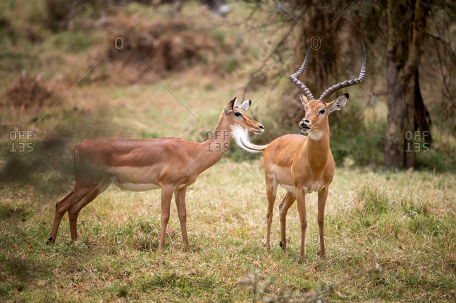 Male and female impala, Aepyceros melampus, in a grass clearing in the forest of Lake Nakuru National Park