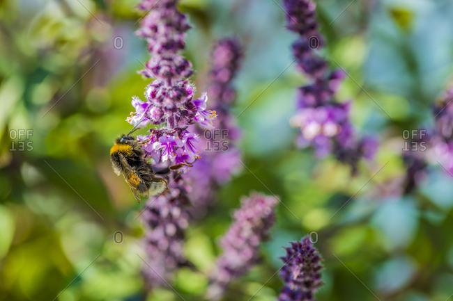 Bumblebee on basil- Ocimum kiliman