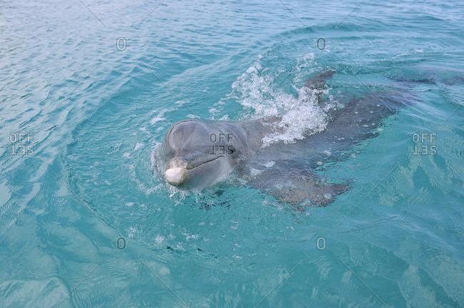 Honduras- Roatan- portrait of swimming bottlenose dolphin
