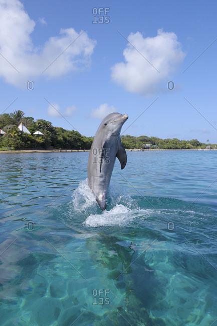 Honduras- Roatan- jumping bottlenose dolphin