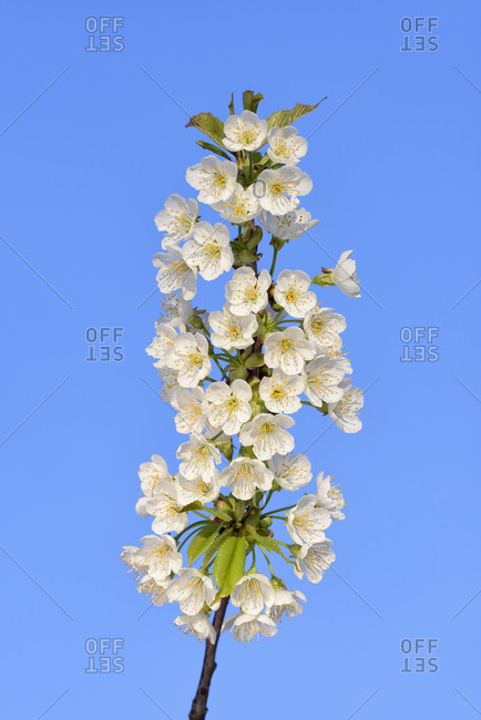 White blossoms of cherry tree against blue sky