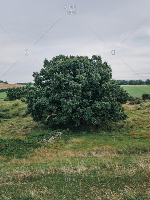 Large green bush in rural Osterlen, Sweden