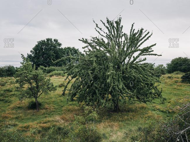 Trees in a field in rural Osterlen, Sweden