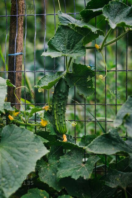 A single cucumber growing on vine in a garden