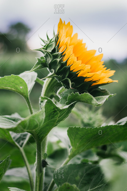 Single sunflower growing in the garden