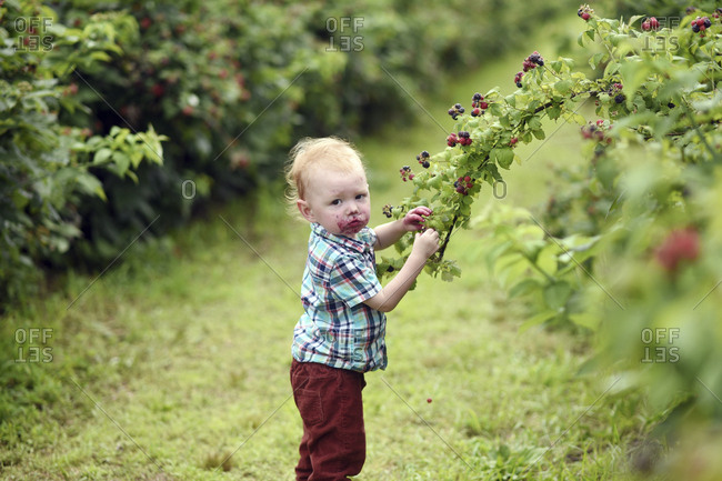 Side view portrait of cute baby boy with messy face eating fresh raspberries while picking it from plants on field