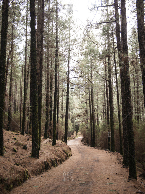 Empty road in coniferous forest through pine trees, Tenerife