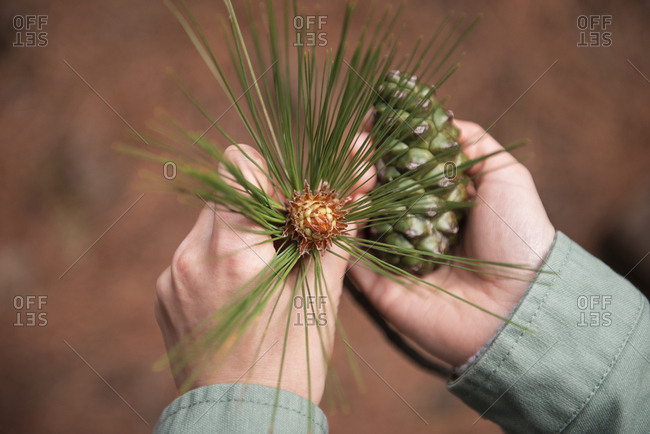 High angle view female hands holding green pine cone and pine branch