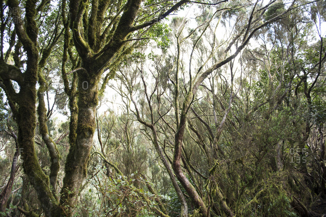Trees covered by moss in the Anaga Rural Park on the north of Tenerife