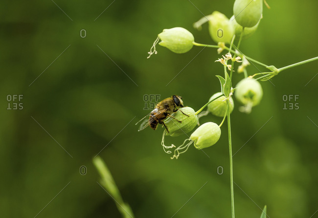 Close-up of honey bee on flower bud