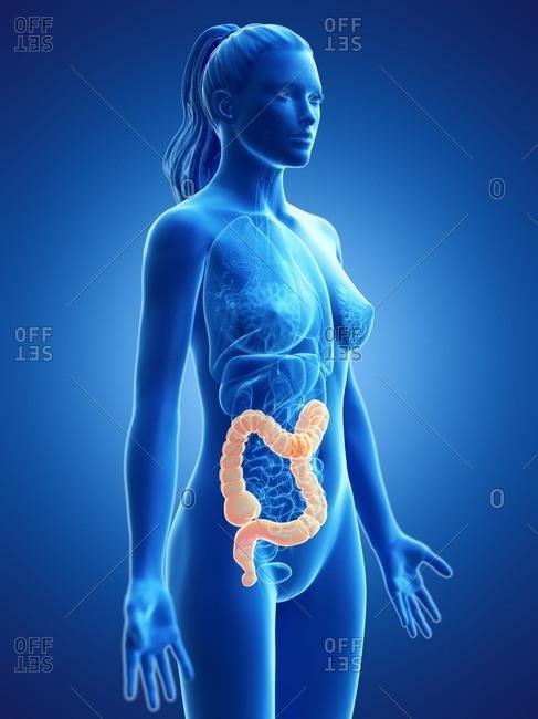 Large intestine, computer illustration.