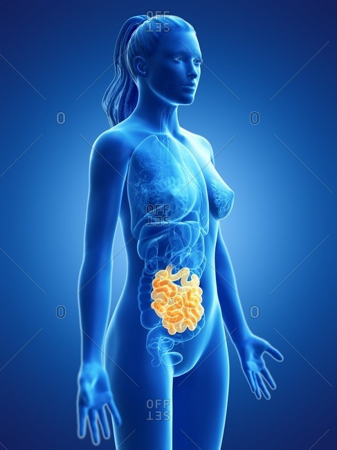 Small intestine, computer illustration.