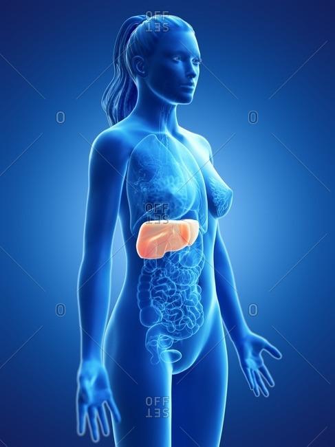 Liver, computer illustration.