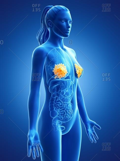Breast anatomy, computer illustration.