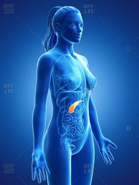 Pancreas, computer illustration.