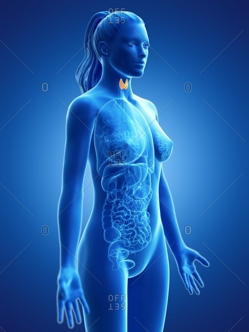 Thyroid gland, computer illustration.