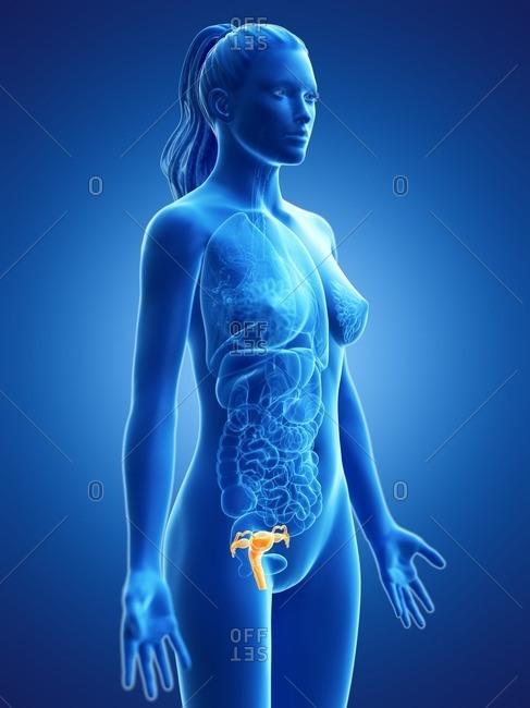 Uterus, computer illustration.