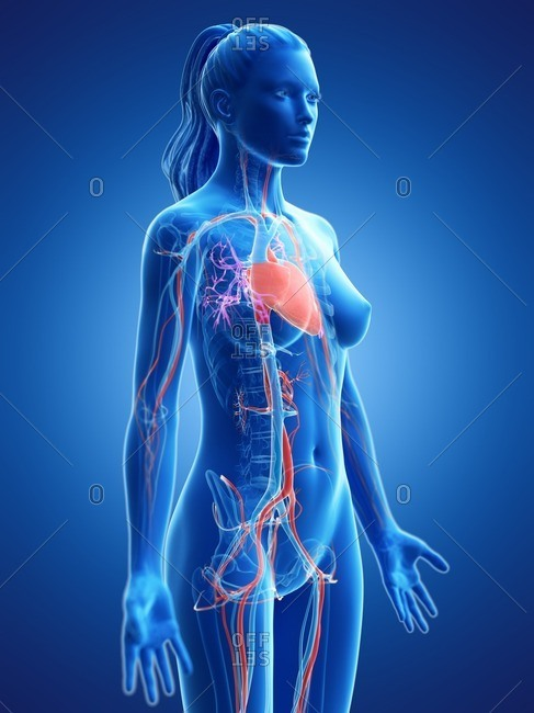 Vascular system, computer illustration.