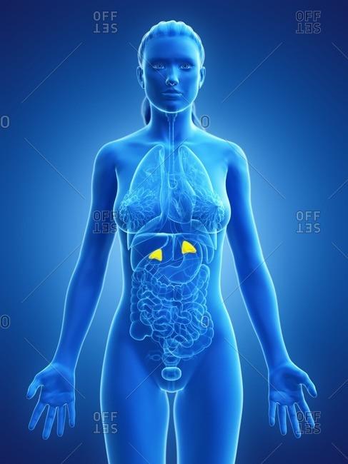 Adrenal glands, computer illustration.