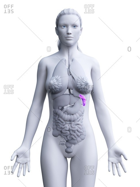 Spleen, computer illustration. - Offset Collection